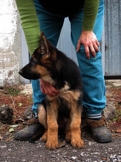 купить щенка немецкой овчарки в донецке фон нордэн штэрн дрессировка собак в донецке хэндлинг