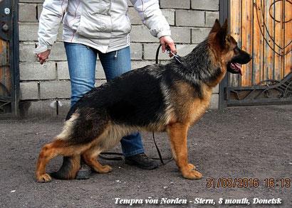 Темпра фон Нордэн - Штэрн, 8 мес (Яррас фон Нордэн + Валерия фон Нордэн), зав. и вл. Громова