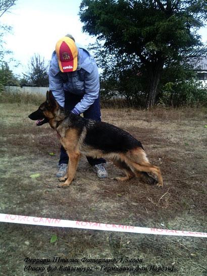 купить щенка немецкой овчарки в донецке фон нордэн штэрн громова оксана дрессировка хэндлинг