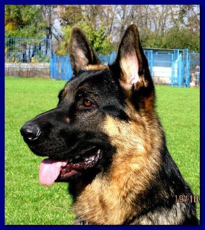купить щенка немецкой овчарки в донецке продажа щенков дрессировка собак хендлинг