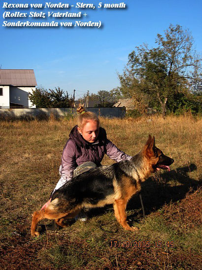 племсмотр в макеевке 2015 щенки немецкой овчарки в донецке питомник немецких овчарок фон норден штерн