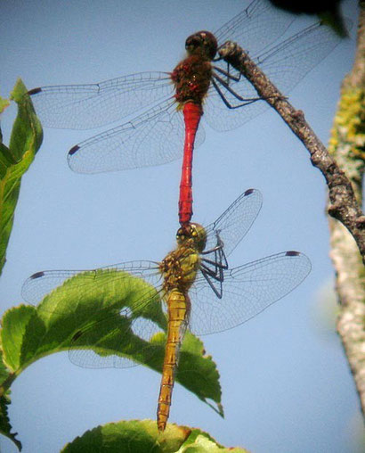 sympetrum, photo Jean Chevallier