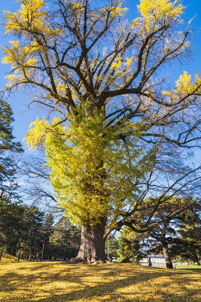 京都御苑の銀杏の木