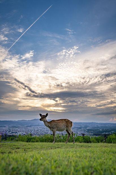 奈良の若草山の鹿さんと夕焼け