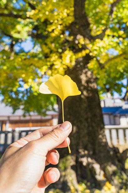 西本願寺のイチョウの葉