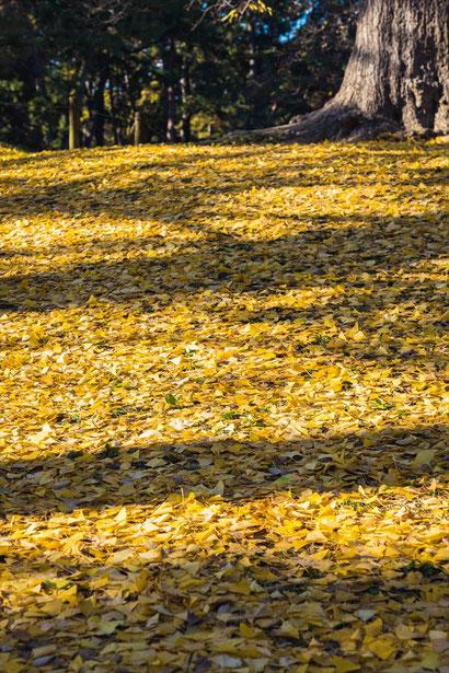 京都御苑の銀杏の落ち葉