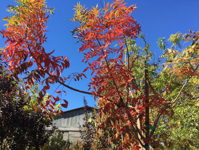 Fall color on a Chinese Pistache tree