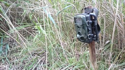 Wildkamera auf Biberhöhe im Röhricht eines kleinen Weihers