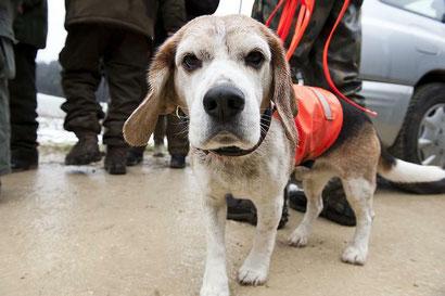 Beagle Hakki
