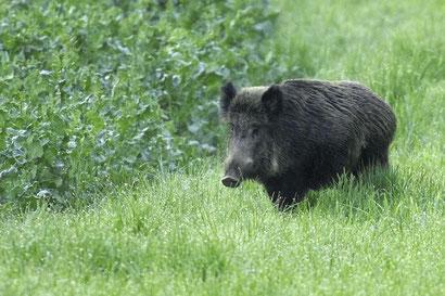 Wildsau in der Hueb Foto: Leo Wyden