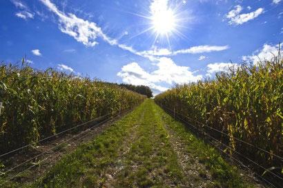 Korrekte Einzäunung  der Maisfelder Foto: Leo Wyden
