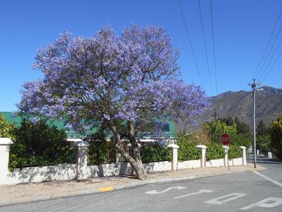 Die Jacaranda-Bäume blühen gerade