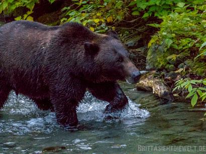 grizzly, bär, wohnmobil, kanada, roadtrip, natur, fotografieren, reisen, tipps, bären