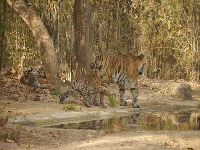 Tigerin nach Riß eines Wildbüffels im Bambuswald, mit ihren zwei Jungen an einer Tränke