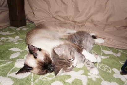 スキフトーイボブテイルとノルウェージャン子猫