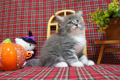 3番くん ノルウェージャン子猫