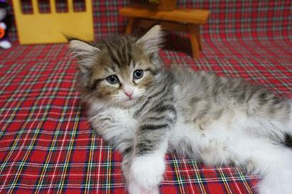 4番ちゃん ノルウェージャン子猫