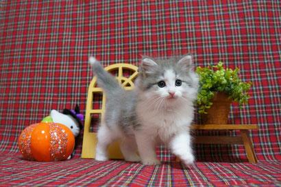 ノルウェージャン子猫 5番ちゃん♪