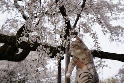 枝垂ねこ桜