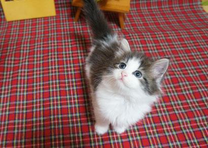 ノルウェージャン子猫 2番ちゃん♪