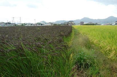 画像右/通常のうるち米 画像左/緑米