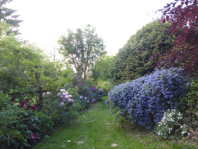 Céanothe et rhododendrons