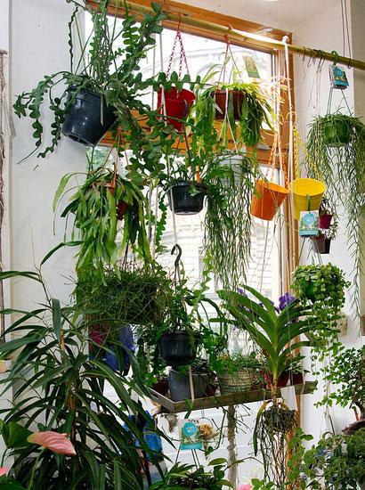 Hängende Pflanzen für Innenraumbegrünung in Wien