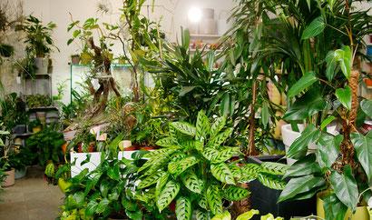 Ein Teil der Zimmerpflanzenauswahl bei FlowerCompany