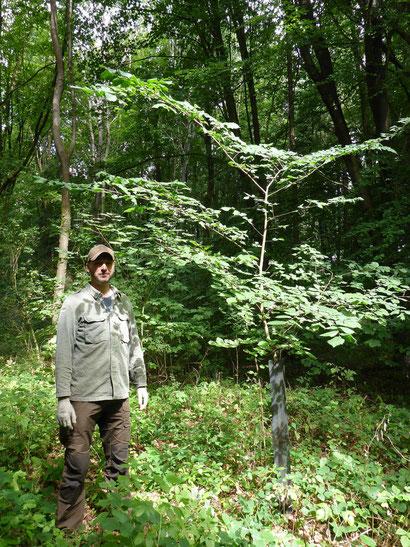 Die im Jahr 2009 gepflanzte Flatterulme hat sich hervorragend entwickelt.