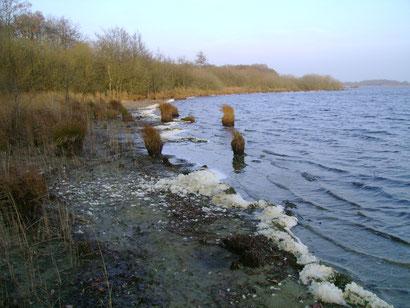 Durch den niedrigen Wasserstand ist der Bereich vor der Ufervegetation derzeit zugänglich. Foto: P. Müller