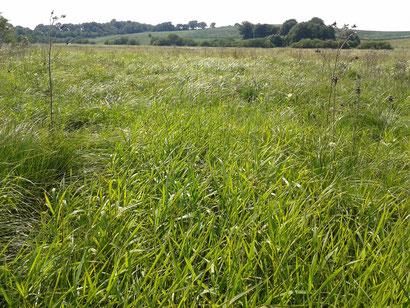 So sah die viele Jahre nicht gemähte Feuchtwiese vor dem Beginn der Landschaftspflegeeinsätze aus: Seggen und Rohrglanzgras lassen keinen Platz für andere Feuchtwiesenarten (zum Vergrößern bitte das Bild anklicken)..