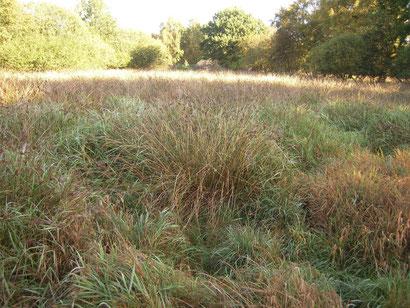 Zustand im Spätsommer 2015 - vor dem Beginn unserer Pflegemaßnahmen. Flatterbinsen dominieren auf der Fläche und lassen keinen Raum für andere Feuchtwiesenarten.