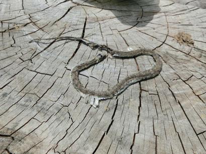 ぺちゃんこの蛇