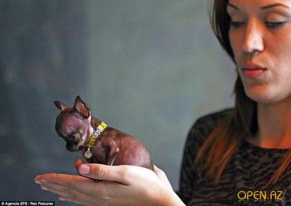 Самая маленькая собака в мире по кличке Милли живет в городе Альта Вега, который расположен на северо-востоке Пуэрто-Рико. Весит она всего лишь 170 граммов (меньше, чем банан), а её рост – 6,53 сантиметра