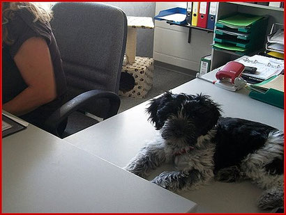 Der Schapendoes im Büro