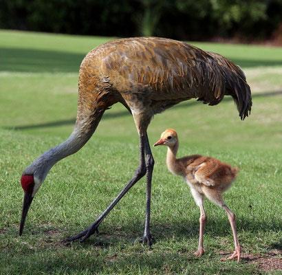 страус со страусенком фото