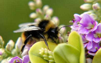 пчелы фотографии