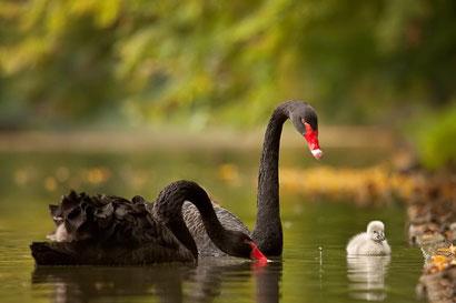 черные лебеди фото