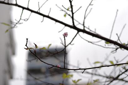 今年の異常気象に桜も翻弄されたのですね!