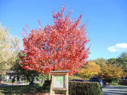 Herbstlicher Baum im Kurpark Bad Bellingen
