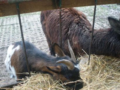 Ein Lama und ne Ziege, die fressen in der Wiege