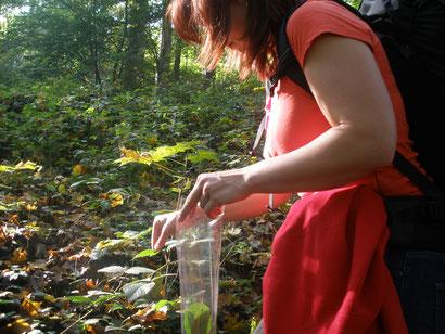 Brombeerblätter für ein Teekränzchen im Wald