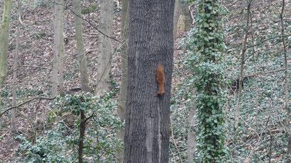 Das eine von zwei Eichhörnchen, die wir gesehen haben.