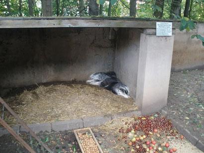 Stachelschweinkuscheln