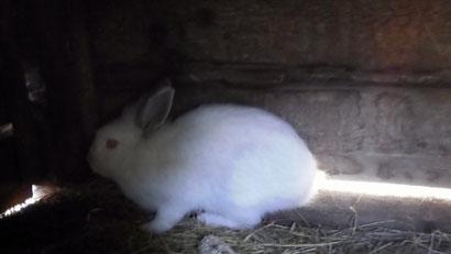 ...weißen Kaninchen.