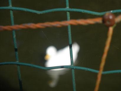 ... als die Ente hintern Zaun!