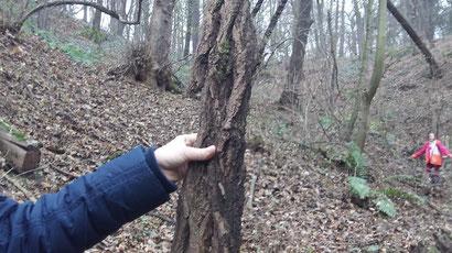 Hier seht ihr Baumrinde von der Robinie