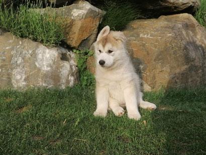 Siberian Husky Diwoks - Can't get Better, Rufname: Akiko