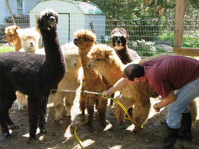 Cooling off the 'pacas on a hot day