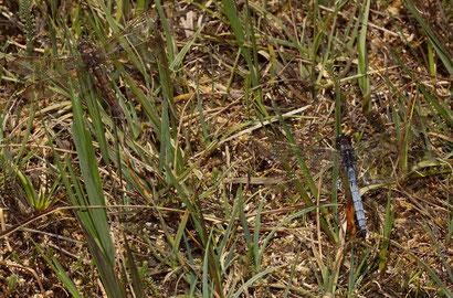 Ein ruhendes Pärchen nach der Kopula. Beachte die Tarnung des Weibchens oben links.